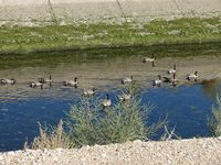 Boise Air Terminal/gowen Fld Airport (BOI) - The geese and their favorite swimming place, the New York Irrigation Canal which runs across the approaches to RWY 10L & 10R. - by Gerald Howard