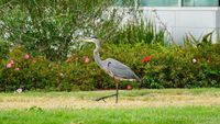 Livermore Municipal Airport (LVK) - Heron on the lawn at Livermore Airport. 2018. - by Clayton Eddy